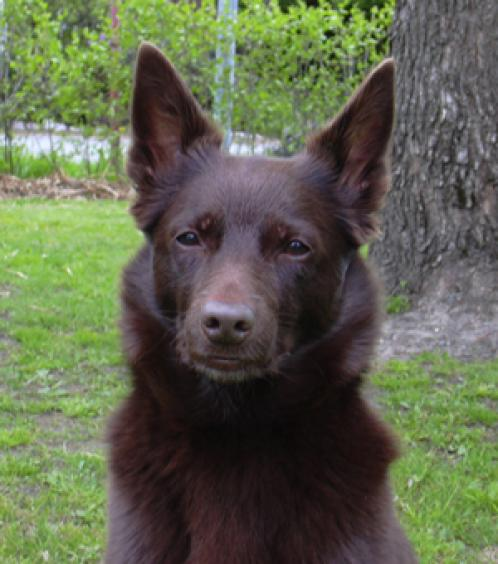 Australian Kelpie photos - DogBreedWorld.com