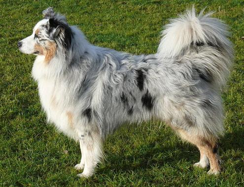 Australian Shepherd photographs - DogBreedWorld.