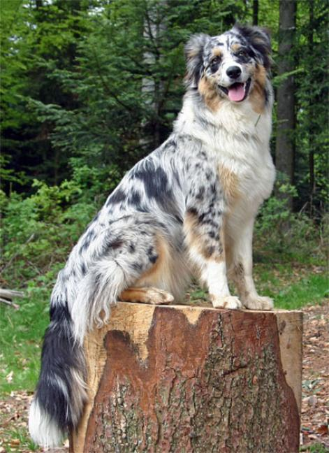 7 Dog Com http://www.imagejuicy.com/images/dog-breeds/a/anatolian-shepherd-dog/7/
