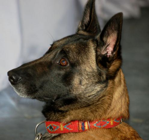 Pin Berger Belge Malinois Photos Race Chiencom on Pinterest