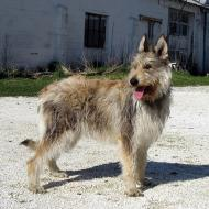 Koodi Dog Breed