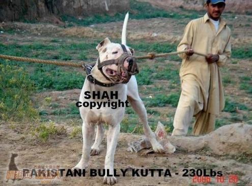 about pitbull breed