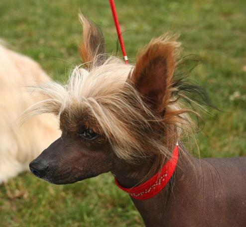 Chinese Crested Puppies on Chinese Crested Dog Foto   Allahundraser Com
