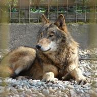 Eastern North America Timber Wolf