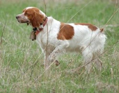 Brittany Spaniel Puppies on French Brittany Spaniel Photos   Dogbreedworld Com