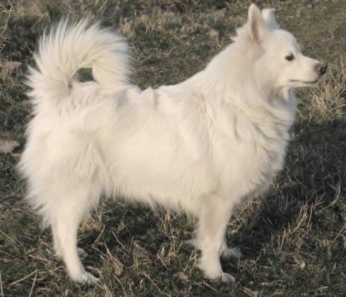 German Spitz pictures - DogBreedWorld.com