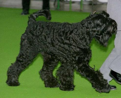 Giant Schnauzer Puppies on Schnauzer G  Ant Images   Race Chien Com