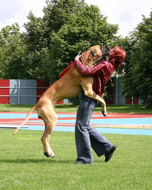 Largest Great Dane http://www.razaperro.org/great_dane?images=great_dane&i=10