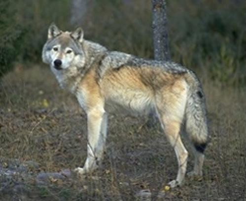 The Great Plains Wolf Great_plains_wolf_1