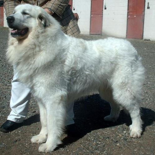 Great Pyrenees Puppies on Great Pyrenees Photos   Dogbreedworld Com