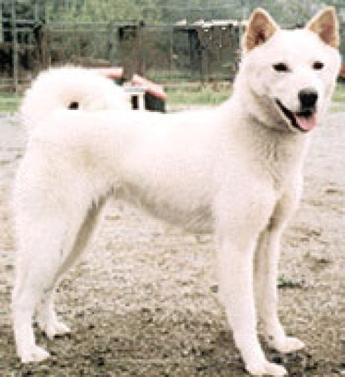 Jindo Dog pics - DogBreedWorld.com