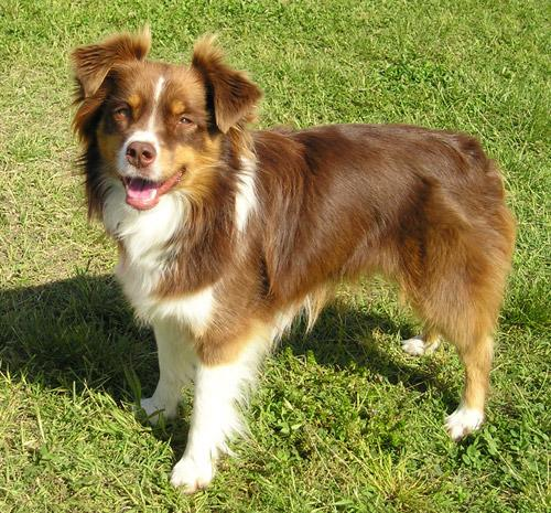 Miniature Australian Shepherd Dog