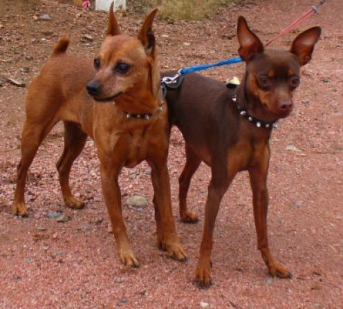 Miniature Pinscher Puppies on Pinscher Miniatura Im  Genes   Razaperro Org