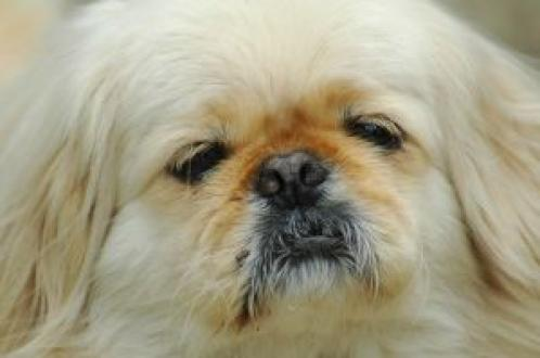 Pekingese Puppies on Next Pekingese Pics Previous Pekingese Pics