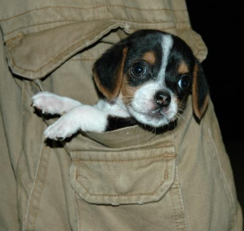 Beagle Puppies on Pocket Beagle Images   Dogbreedworld Com