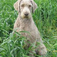 Breeding country: the pedigree Slovakian Wire-haired Pointing Dog was