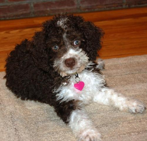 Spanish Water Dog Puppies For Sale In Pa