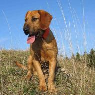 Styrian Roughhaired Mountain Hound