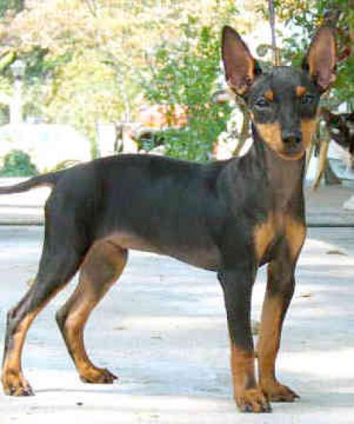 manchester toy terrier - photo #7