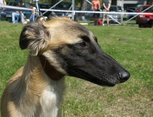 Whippet Puppies on Whippet Photos   Dogbreedworld Com