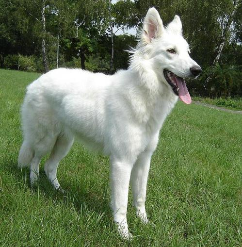 White German Shepherd pictures - DogBreedWorld.com