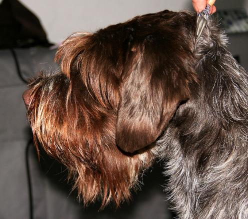 Wirehaired Pointing Griffon images
