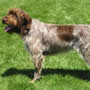 Strihåret griffon pointer
