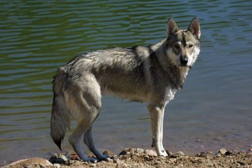 Dog Breeds That Look Like Wolves